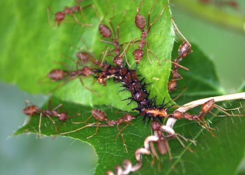ants feeding caterpillar picture