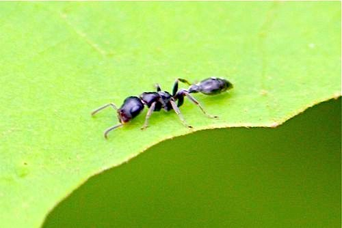 picture of a black ant in malaysia