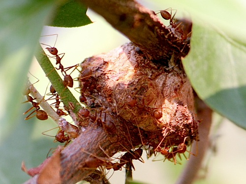 ants nest on a tree photo
