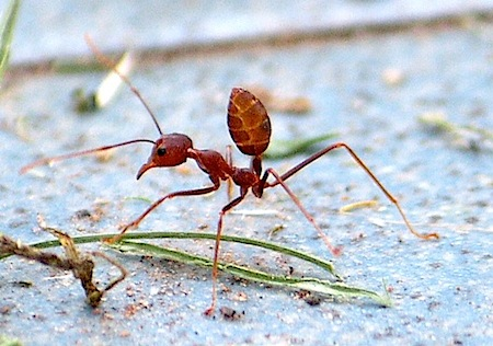 picture of kerengga ant in malaysia