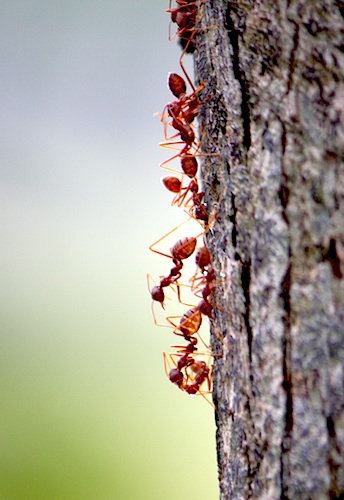 line of ants going up a tree photo