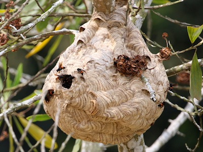 picture of bees nest in malaysia