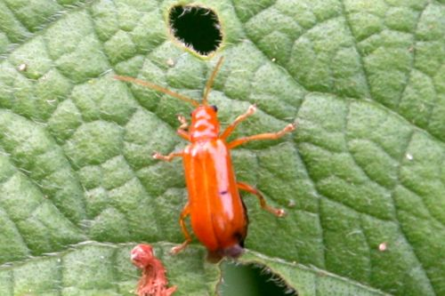 photo of a malaysian red leaf beetle
