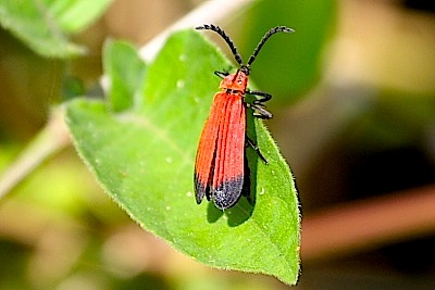 photo of a malaysian net-winged beetle
