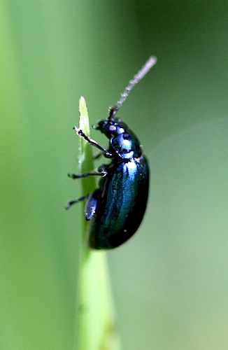 picture of a scarab beetle in malaysia