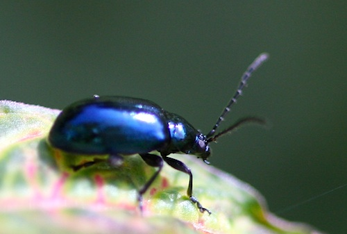photo of a malaysian blue scarab beetle