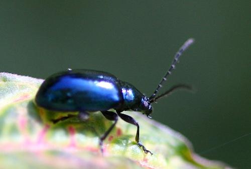 photo of a malaysian blue scarab beetle