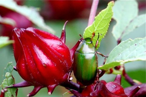 picture of a malaysian flower chafer (scarab) beetle and roselle fruit
