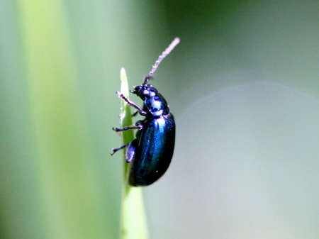 picture of a malaysian scarab beetle