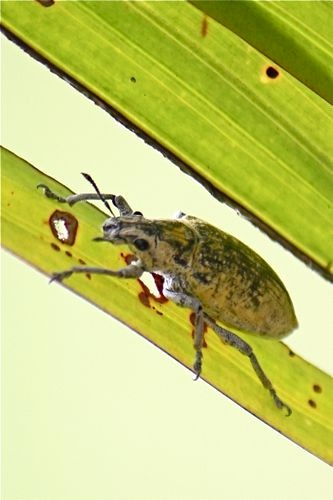 picture of a malaysian scarab beetle on a leaf stalk