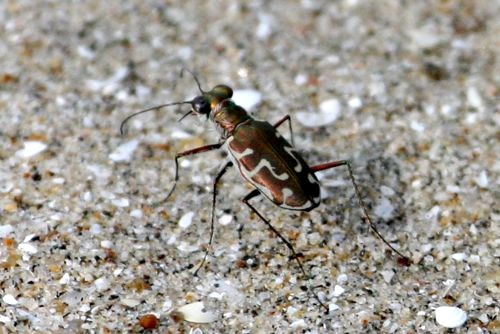picture of a malaysian tiger beetle specie