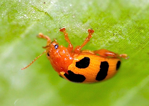 photo of a malaysian spotted weevil
