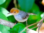 picture of ashy tailorbird in malaysia