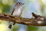picture of asian brown flycatcher