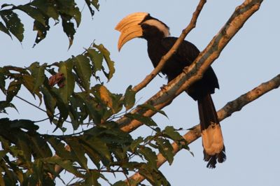 picture of a male black hornbill