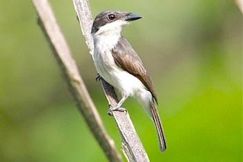 black-winged flycatcher shrike (female)