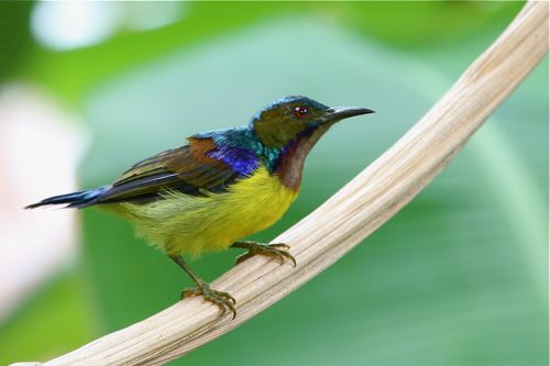 brown-throated sunbird (male)