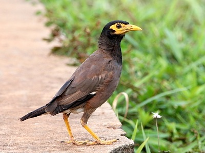 common mynah picture