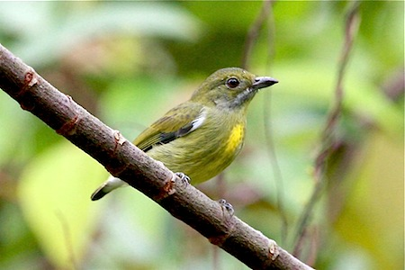 female crimson-breasted flowerpecker