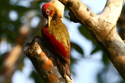 crimson-winged woodpecker