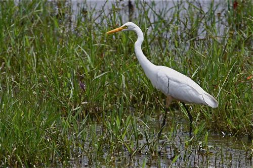 great egret in malaysia