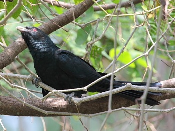 picture of koel (male)