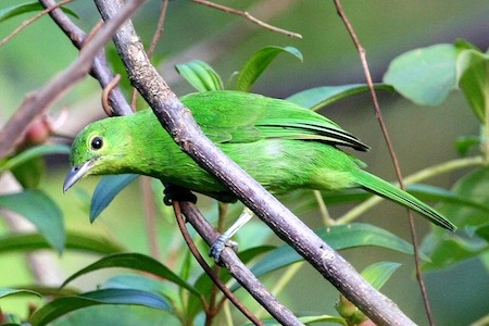 picture of a lesser green leafbird (female)