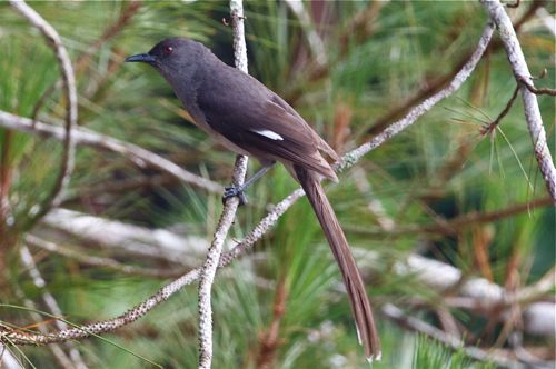 long-tailed sibia