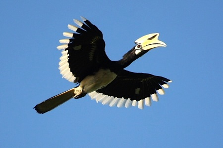 picture of oriental pied hornbill in flight in malaysia