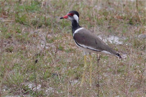 red-wattled lapwing in malaysia