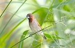 picture of scaly breasted munia