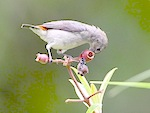 picture of scarlet-backed flowerpecker in malaysia
