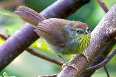 striped tit babbler.jpg