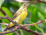 picture of female sunbird in malaysia