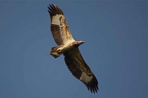 brahminy kite flying in Malaysia