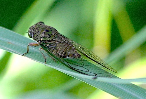 picture of a malaysian cicada