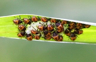 photo of newly hatched nymphs of bugs in Malaysia