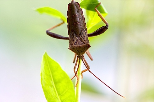picture of a brown-colored malaysian squash bug