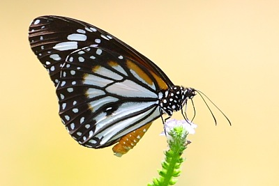 Black Veined Tiger butterfly of malaysia