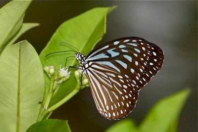 picture of Blue Glassy Tiger butterfly