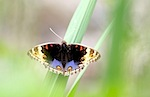 picture of blue pansy butterfly found in malaysia