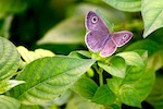 picture of bush brown butterfly