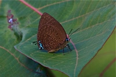 Centaur Oakblue butterfly picture