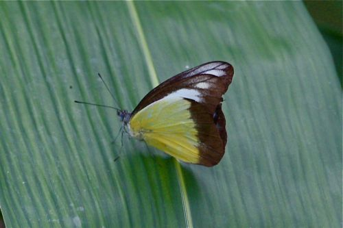 Chocolate Albatross butterfly of malaysia