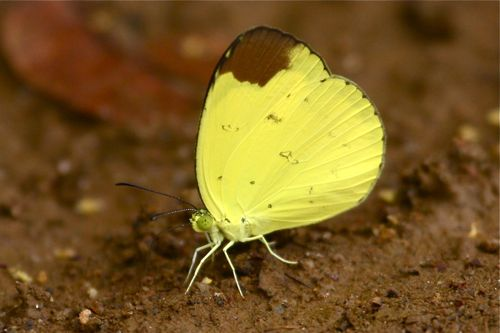 Chocolate Grass Yellow butterfly of Malaysia