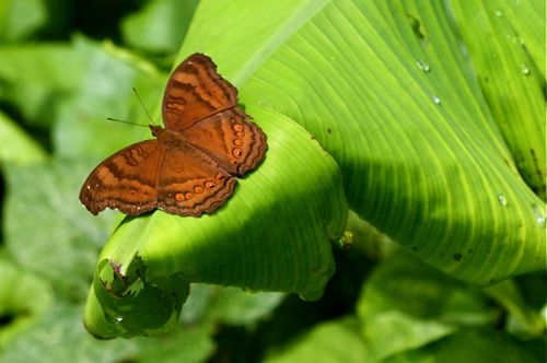 Chocolate Pansy butterfly of malaysia