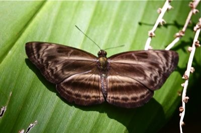 image of Chocolate Sailor butterfly