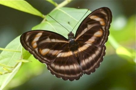 picture of Colour Sergeant butterfly in malaysia