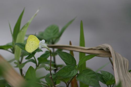 malaysian butterflies - common grass yellow