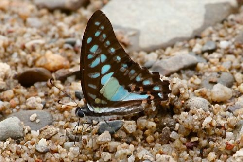 Common Jay butterfly image